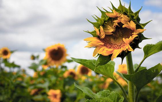 Suns101 - Dos Gringos Flower Company