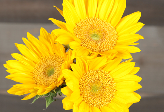 Sunflower Varieties Dos Gringos Flower Company