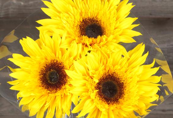 Sunflower varieties dos gringos flower company sunsplash mightylinksfo
